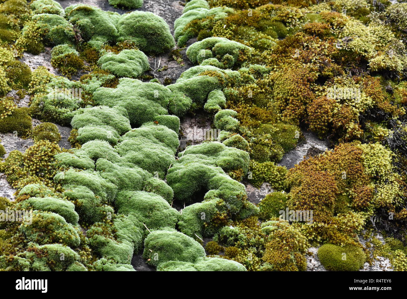 Different Mosses Growing Together On A Rock Stock Photo 226731994