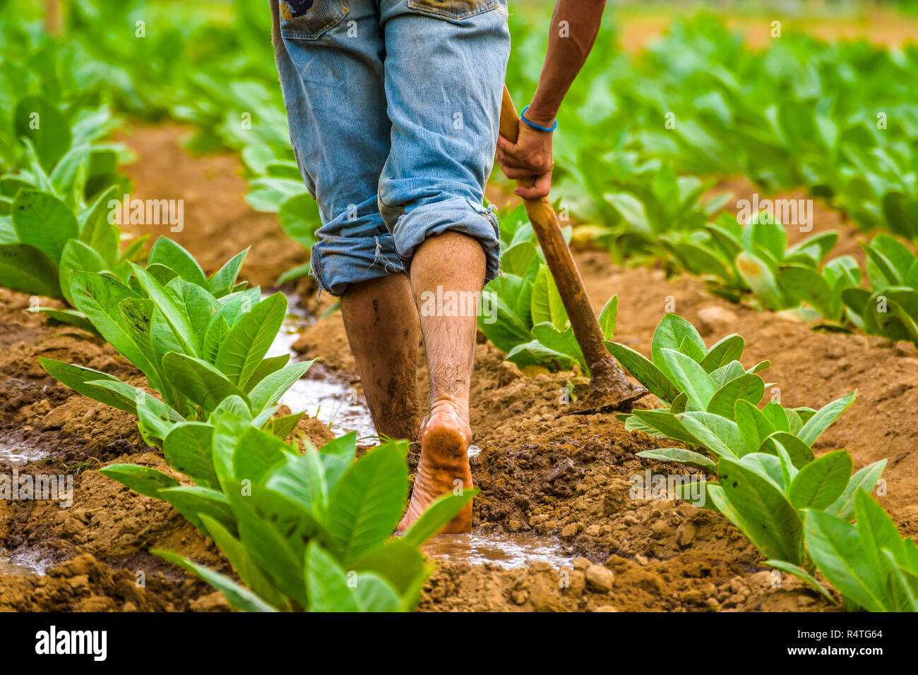 Cuban tobacco farmer working the soil on a field surrounded by green tobacco leaves. Man hoeing ground bare feet in tobacco plantation. Vinales valley - Stock Image