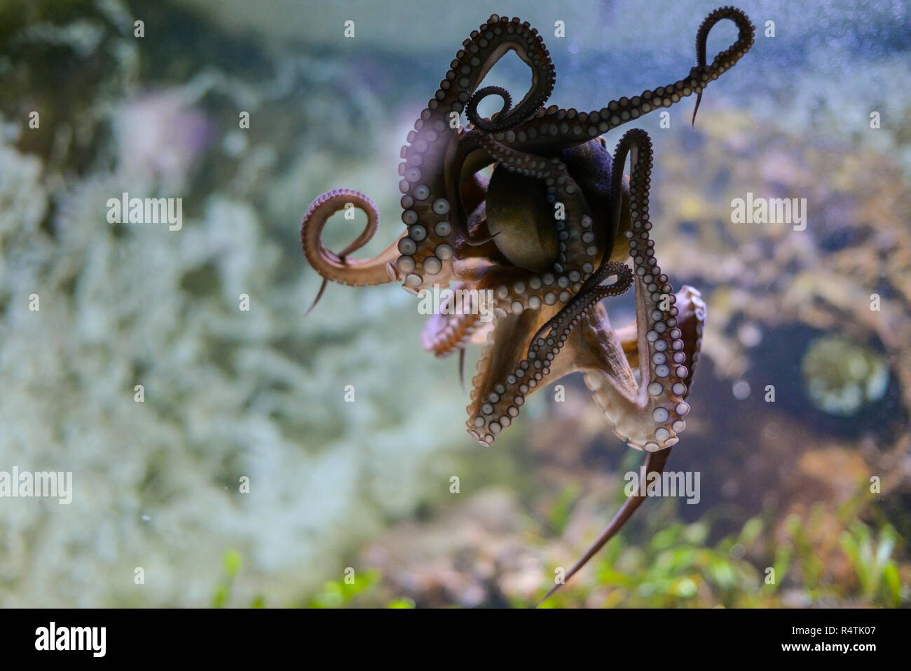octopus in action - Stock Image