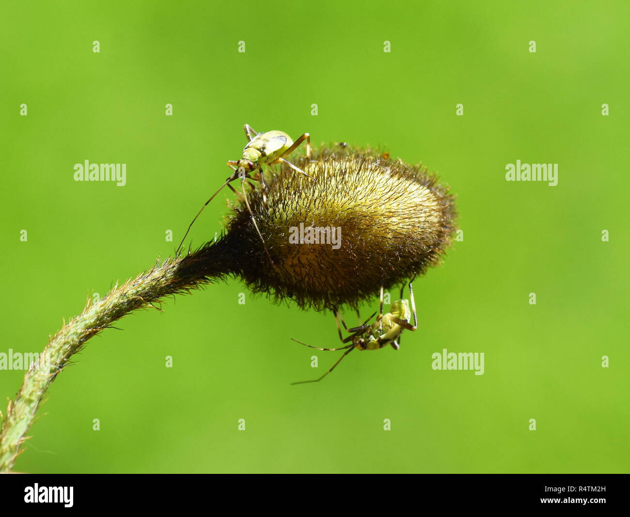 Pest insect Common green capsids Lygocoris pabulinus eating on a poppy flower bud - Stock Image