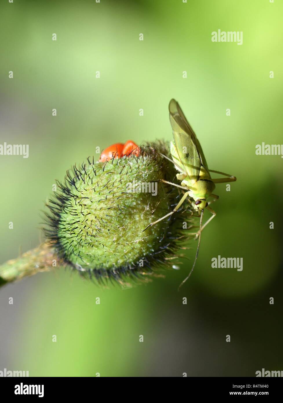 Common green capsid Lygocoris pabulinus sitting on a flower bud - Stock Image