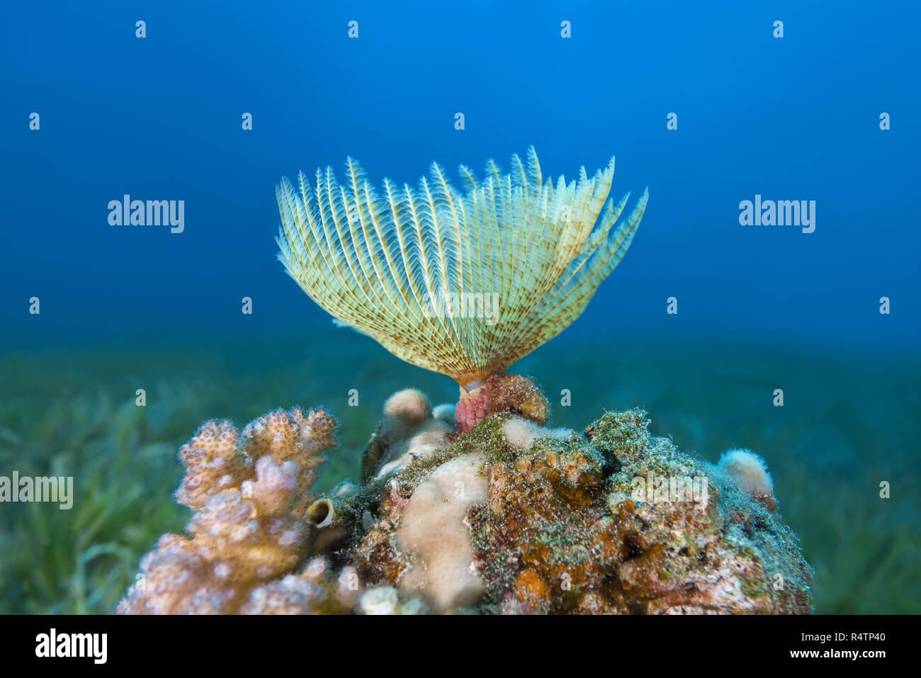 Indian Feather Duster Worm (Sabellastarte spectabilis), Red Sea, Dahab, Egypt - Stock Image