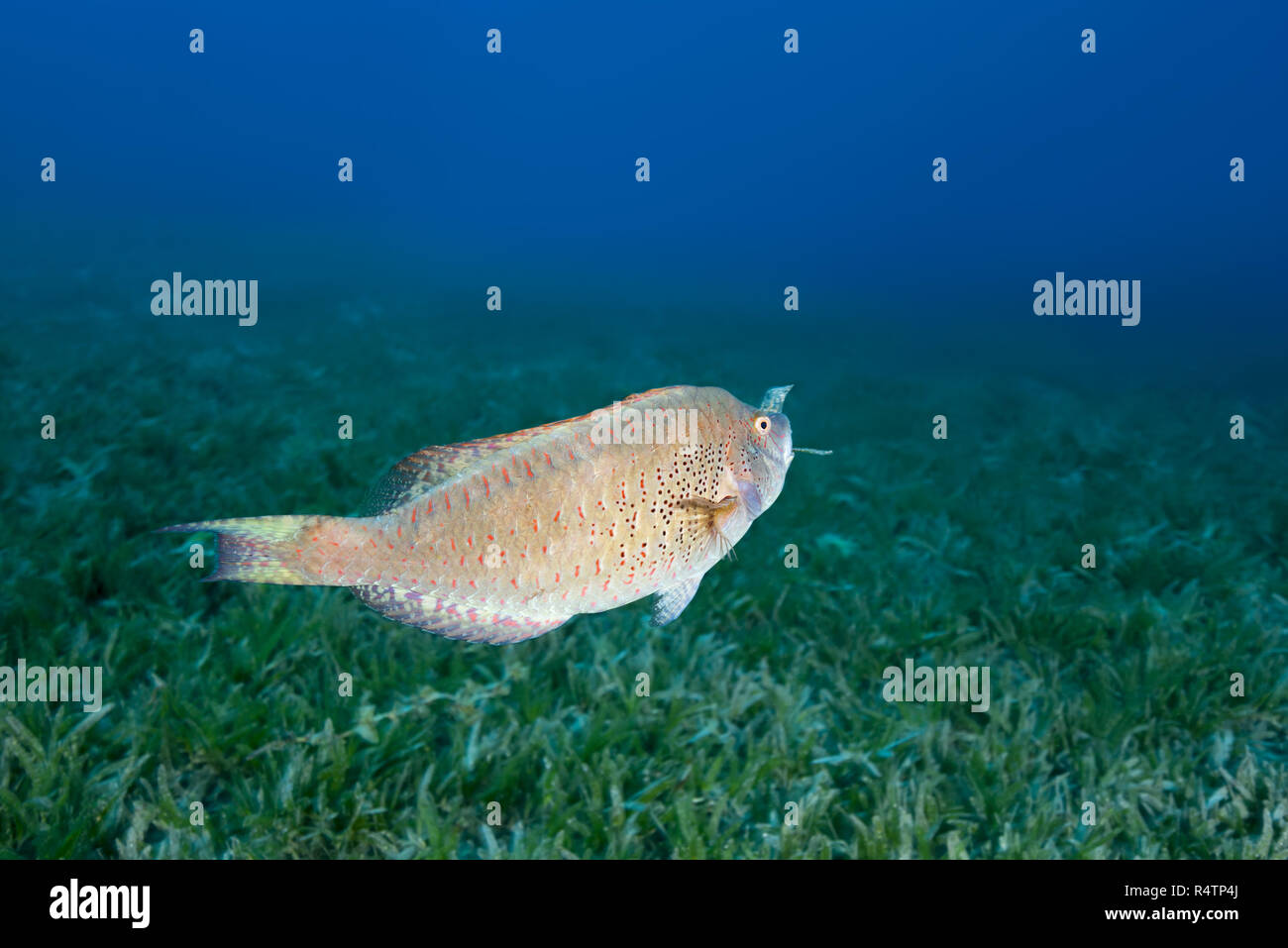 Viridescent Parrotfish (Calotomus viridescens) carries a blade of grass, Red Sea, Dahab, Egypt - Stock Image