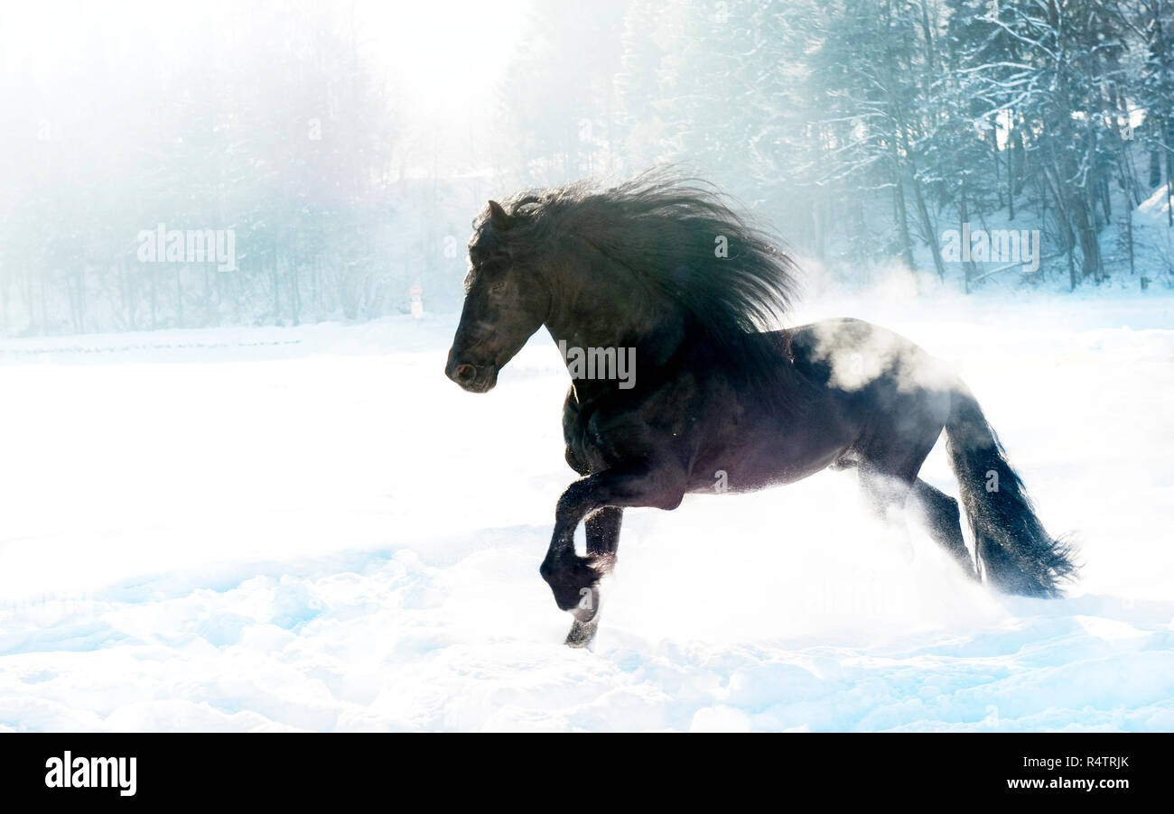 Black Horse Gallops In The Snow Stock Photo Alamy