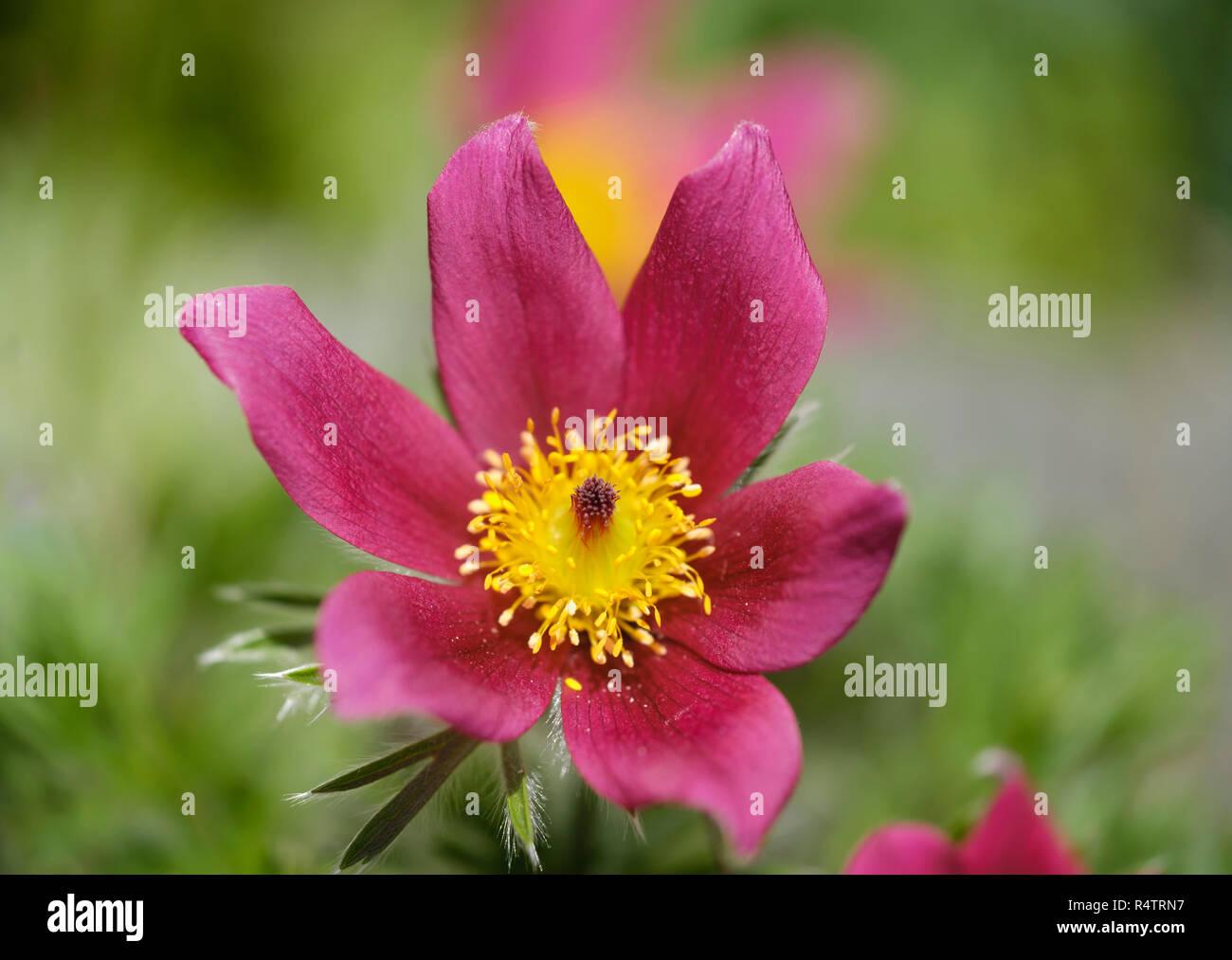 Red Cow Clamp (Pulsatilla vulgaris), variety Rubra, flower, Germany - Stock Image
