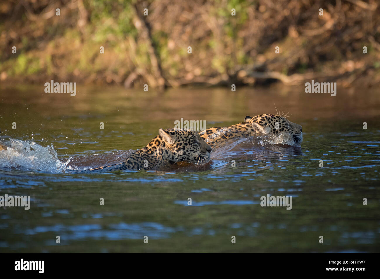 Two Jaguars (Panthera onca) swimming, crossing Rio Negro, Pantanal, Mato Grosso do Sul, Brazil - Stock Image