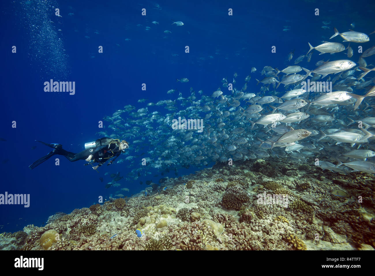 Female scuba diver swims with school of bayads, Bigeye Trevally or Dusky Jack (Caranx sexfasciatus) in blue water over coral ree Stock Photo