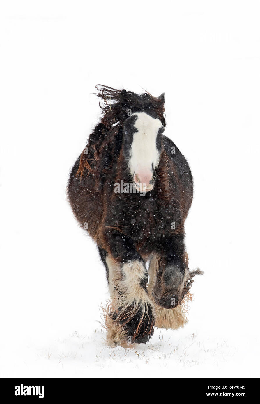 Clydesdale horse running in the falling snow in winter in Canada - Stock Image