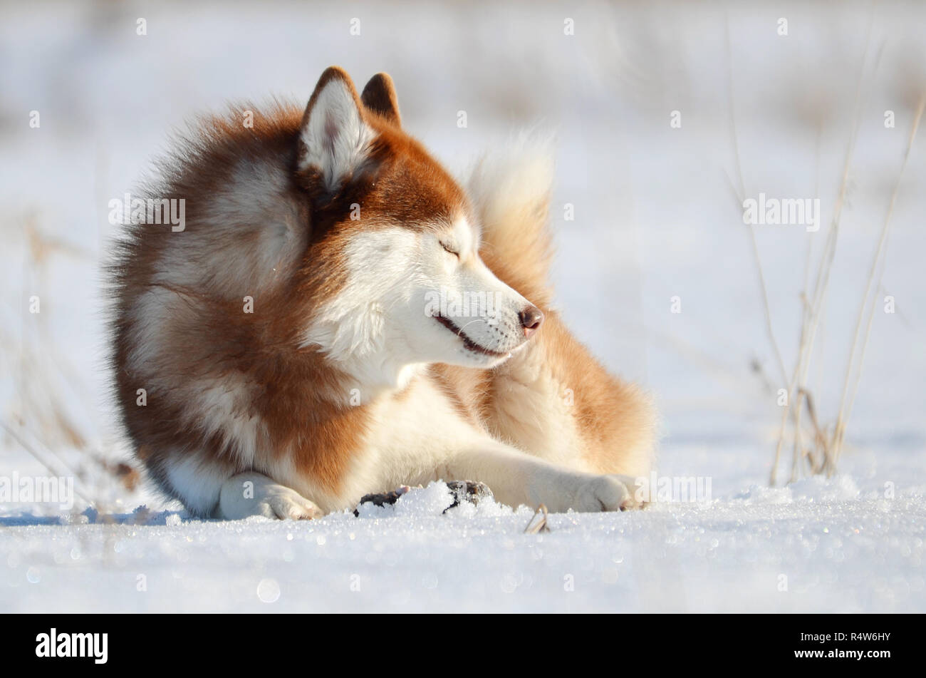 Smiling red dog husky laying on the snow. Winter outdoor - Stock Image