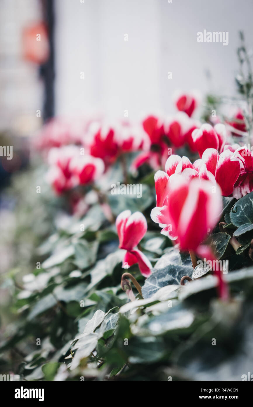 Close up of hot pink and white flowers in a pot, selective focus. - Stock Image