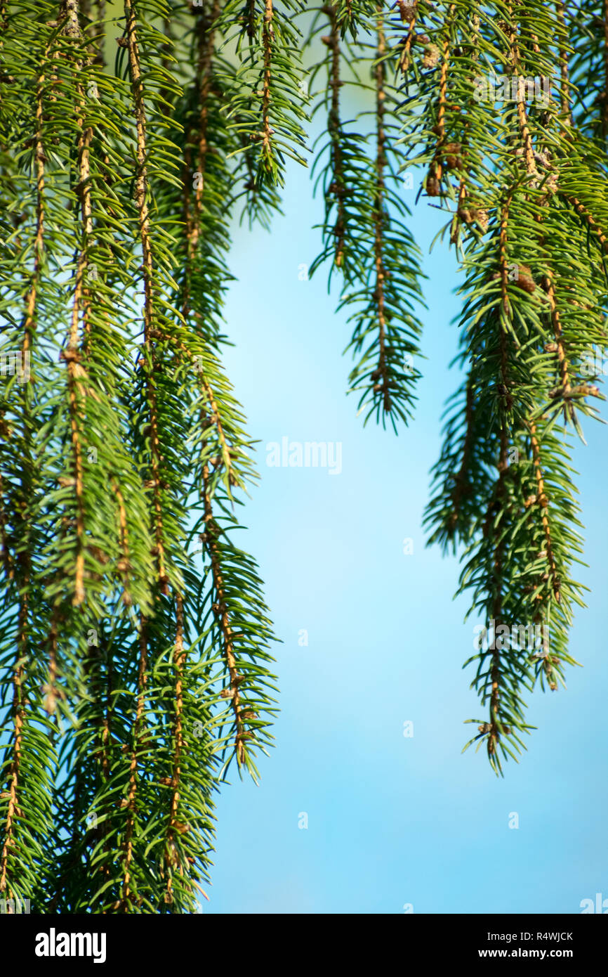 Evergreen Pine Tree With Hanging Branches And Sky Blue Background - Stock Image