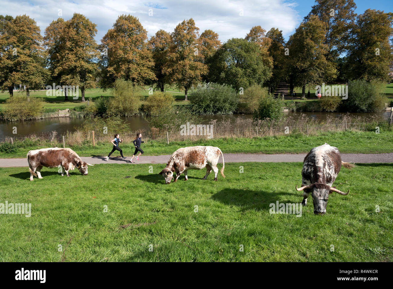 Joggers pass Longhorn cattle grazing by the Rever Severn in the centre of Shrewsbury Shropshire, UK - Stock Image