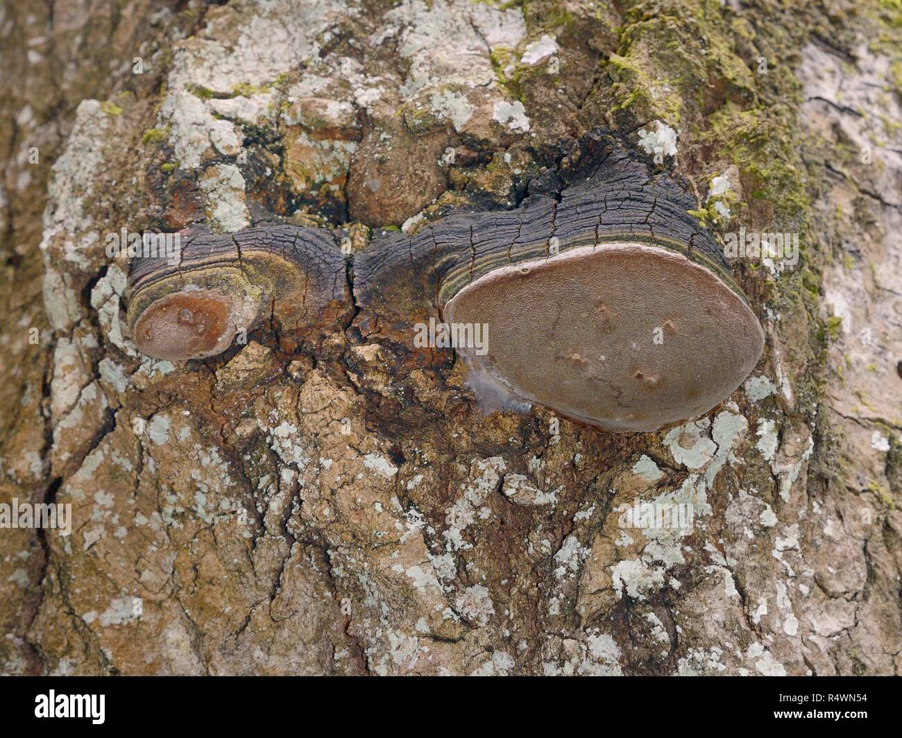 Aspen trunk rot / False tinder conk mushroom (Phellinus tremulae) fungus fruiting bodies visible on an Old Aspen tree (Populus tremula) trunk, Estonia - Stock Image
