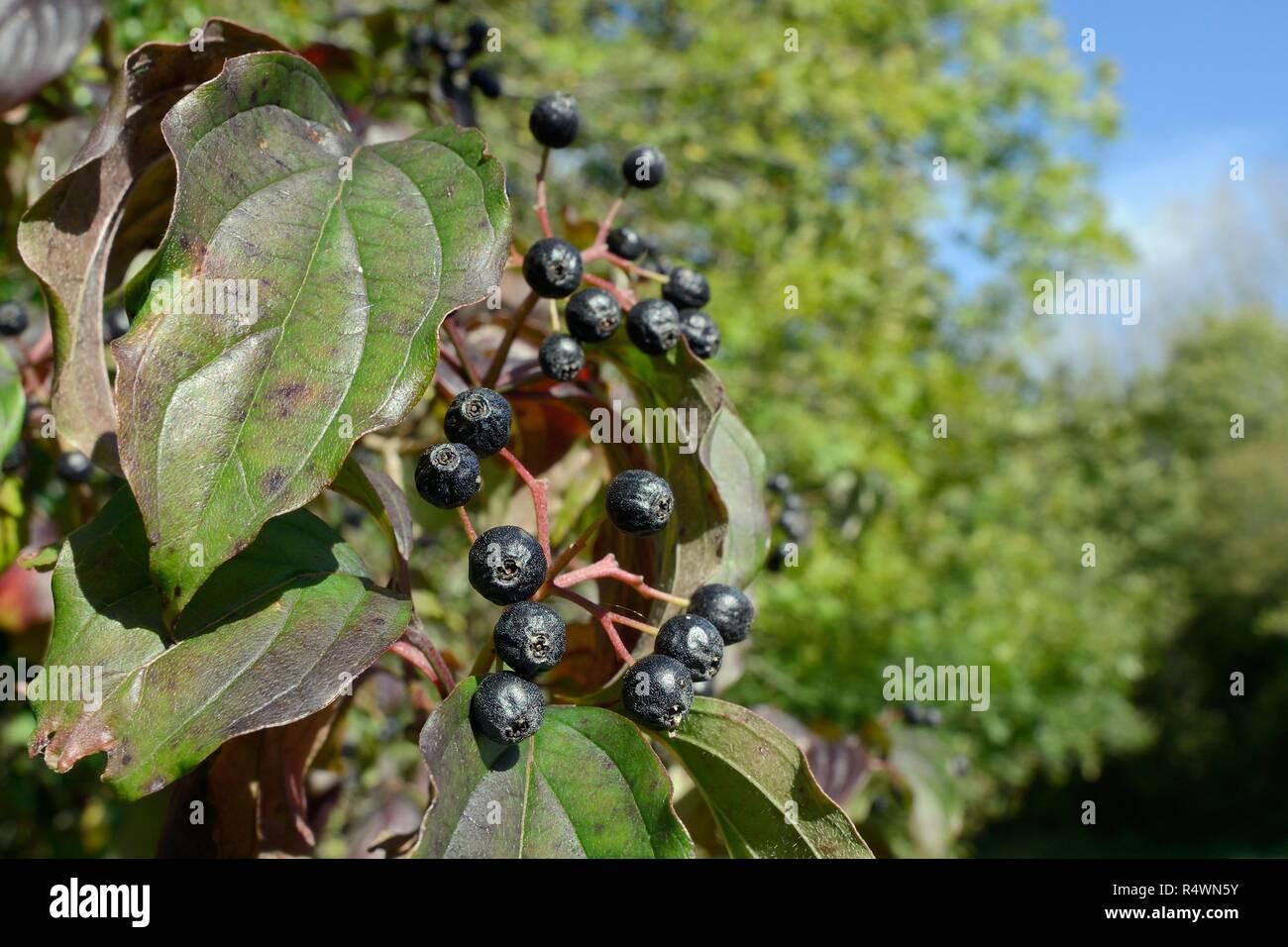 Dogwood (Cornus sanguinea), with ripe berries in woodland, Lower Woods, Gloucestershire, UK, October - Stock Image