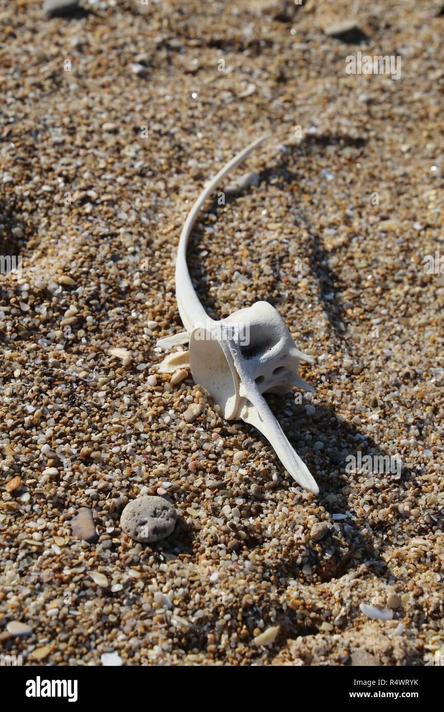 Tuna dorsal vertebra - Stock Image