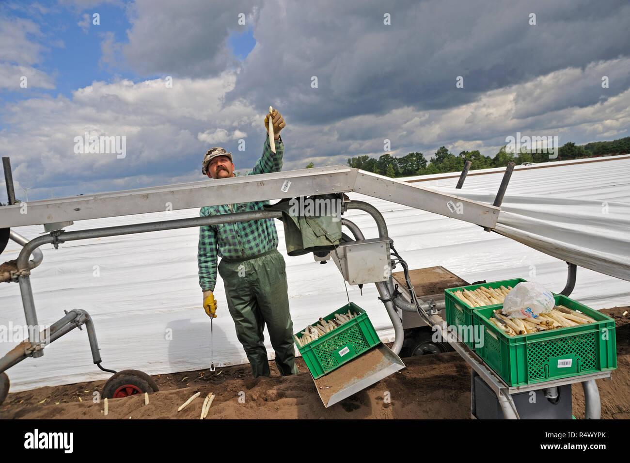 Spargelernte bei Langlingen, Kreis Celle, Niedersachsen, Deutschland, Europa | Asparagus harvest near Langlingen, district Celle, lower saxony, German - Stock Image