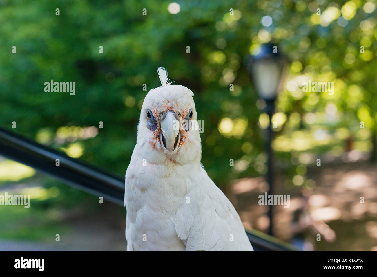 A Bare Eyed Cockatoo looking at the camera. - Stock Image