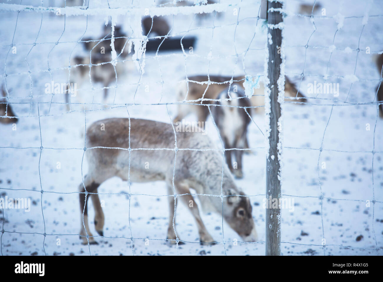 Group herd of caribou reindeers pasturing in snowy landscape, Northern Sweden near Norway border, Lapland - Stock Image