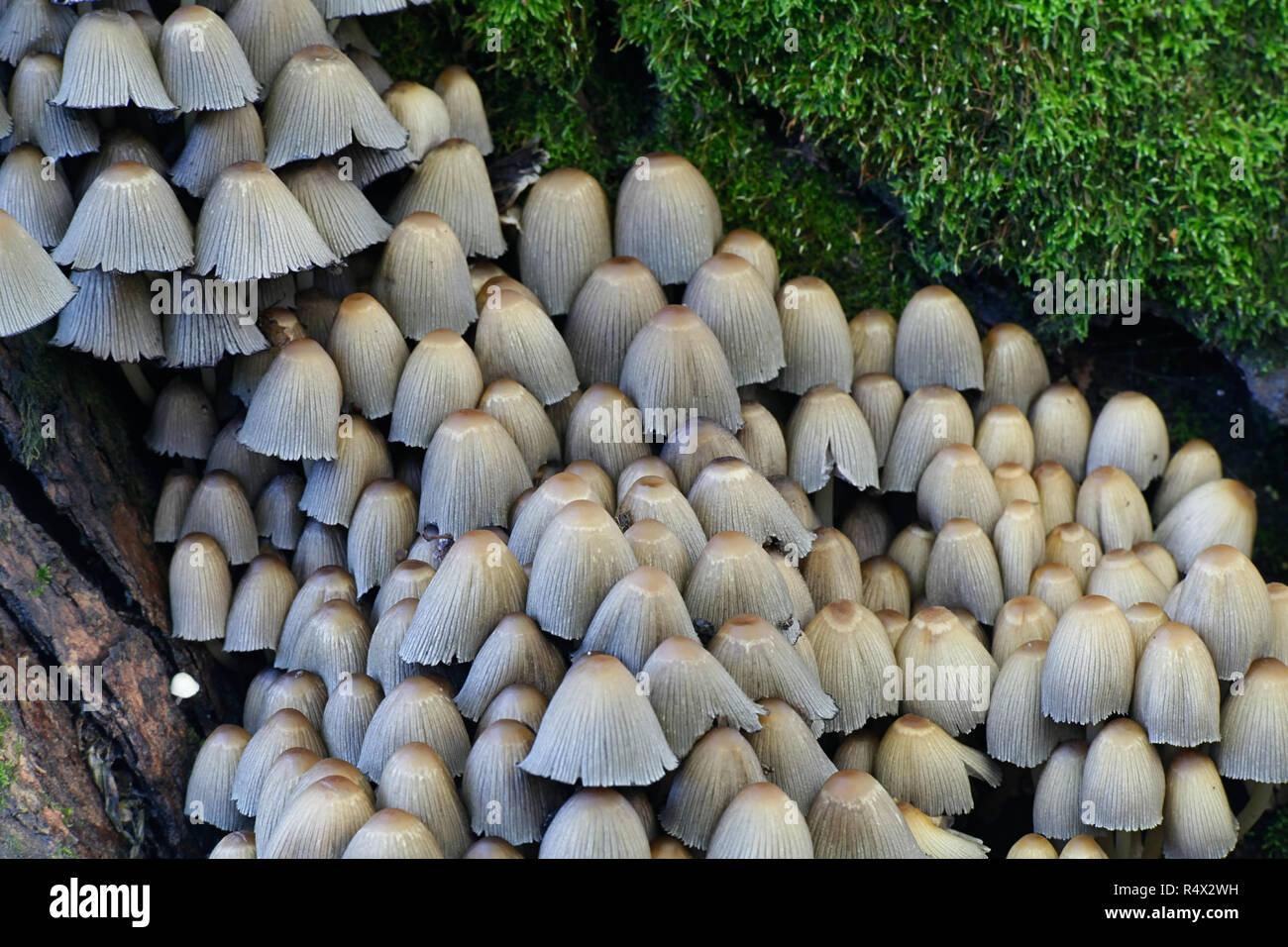 Coprinellus micaceus, Glistening Inkcap mushroom - Stock Image