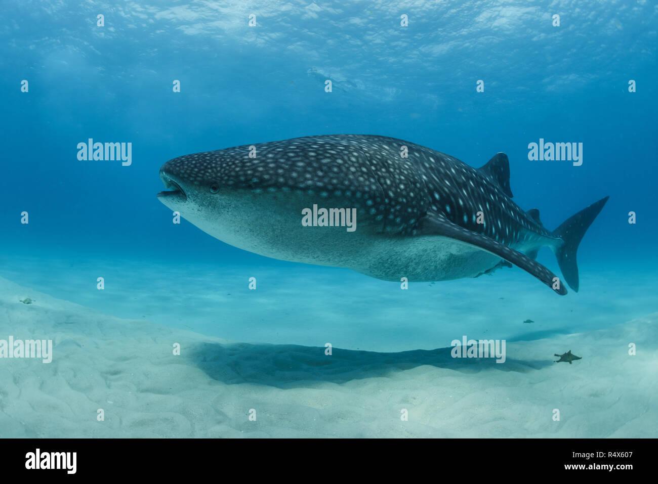 Whale shark swimming over a shallow sandbank at Mafia Island, Tanzania - Stock Image