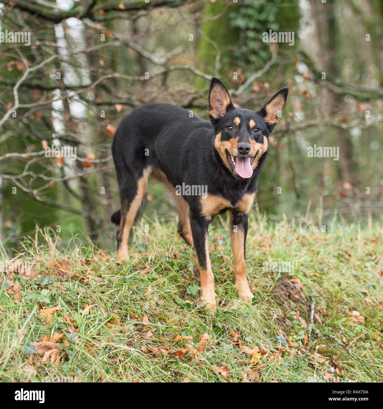 Kelpie With Sheep High Resolution Stock Photography And Images Alamy