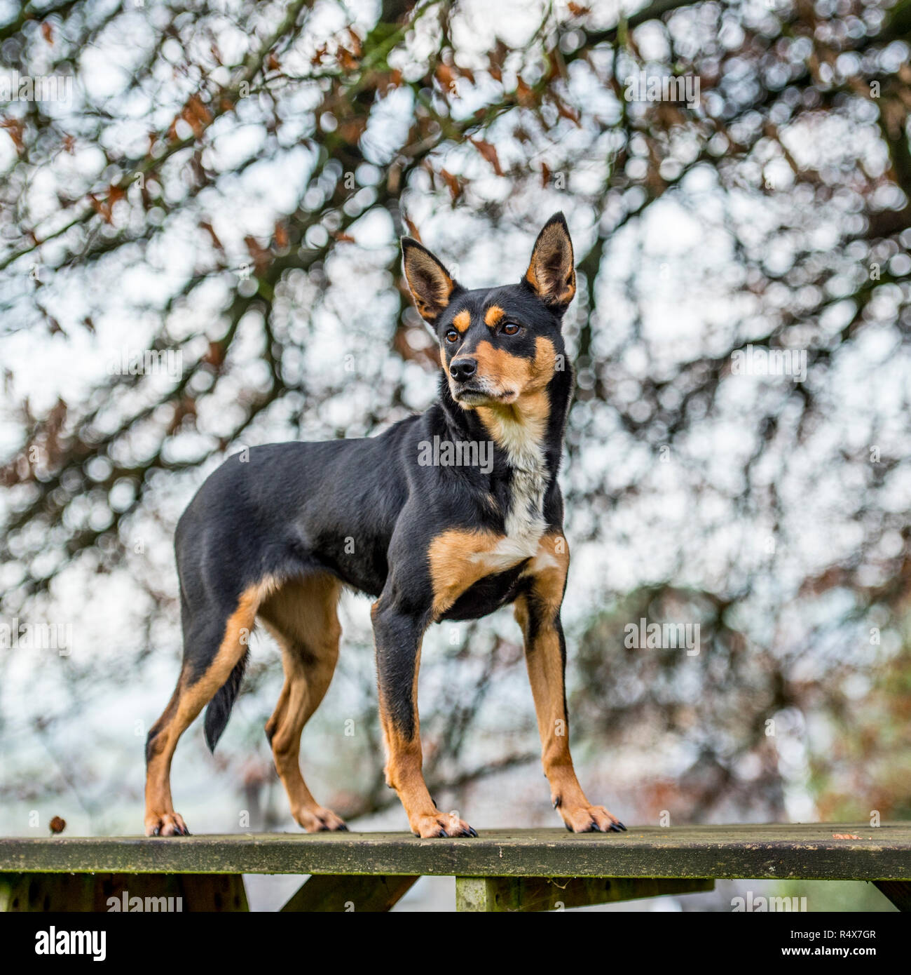 australian Kelpie , black and tan - Stock Image
