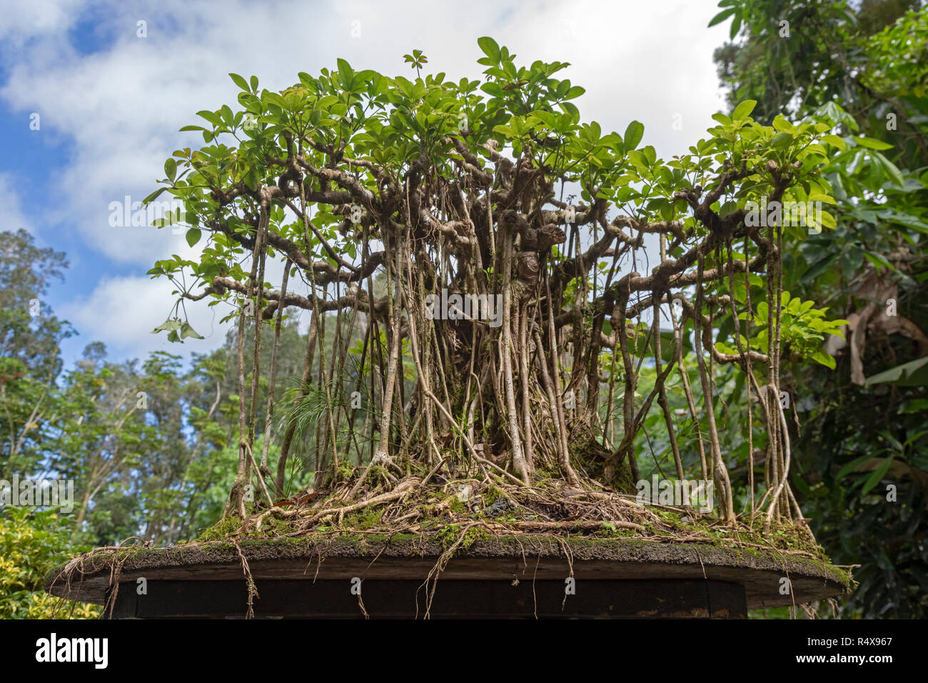 Kurtistown Hawaii A Dwarf Schefflera Bonsai In The Form Of A Banyan Tree At The Fuku Bonsai Cultural Center A Bonsai Nursery And Educational Cente Stock Photo Alamy