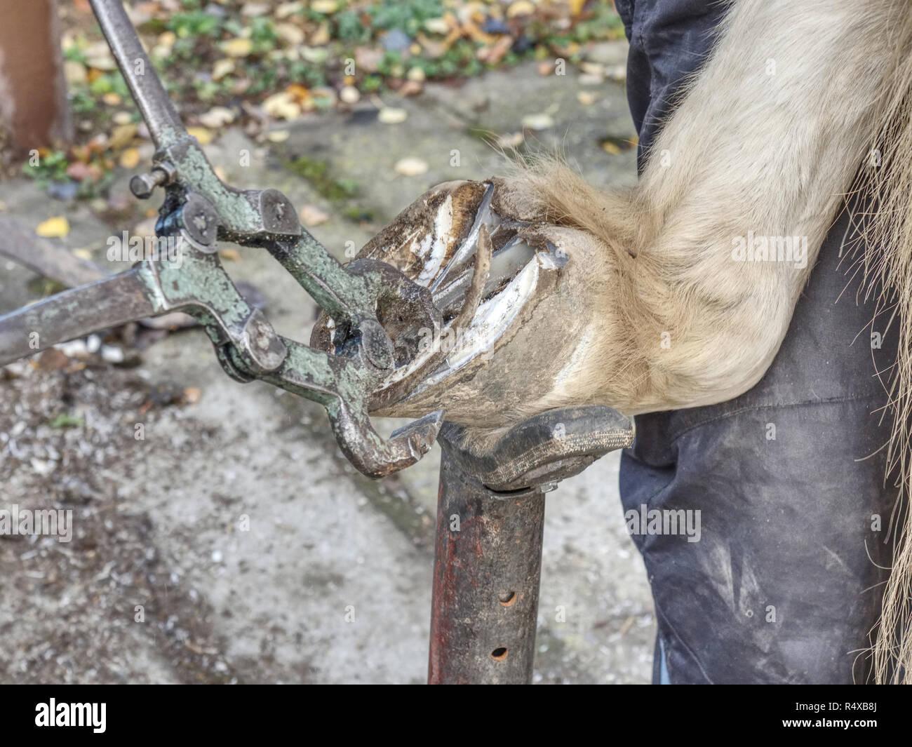 Necessary hoof care of horse before being mounted horseshoe. Cut of worn keratin. - Stock Image