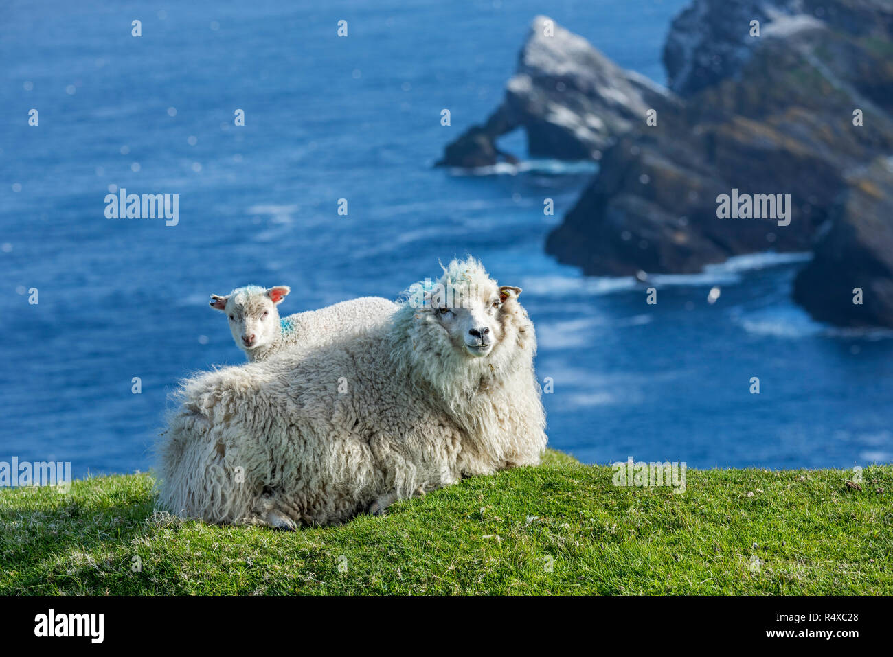 White sheep ewe and lamb resting on sea clifftop at Hermaness National Nature Reserve, Unst, Shetland Islands, Scotland, UK - Stock Image