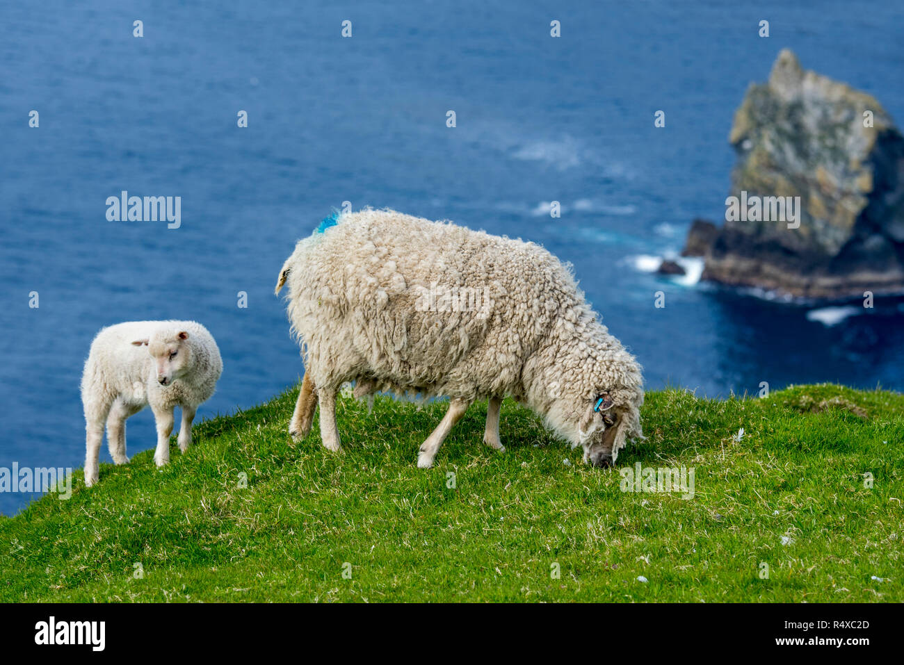 White sheep ewe and lamb grazing grass on sea clifftop at Hermaness National Nature Reserve, Unst, Shetland Islands, Scotland, UK - Stock Image