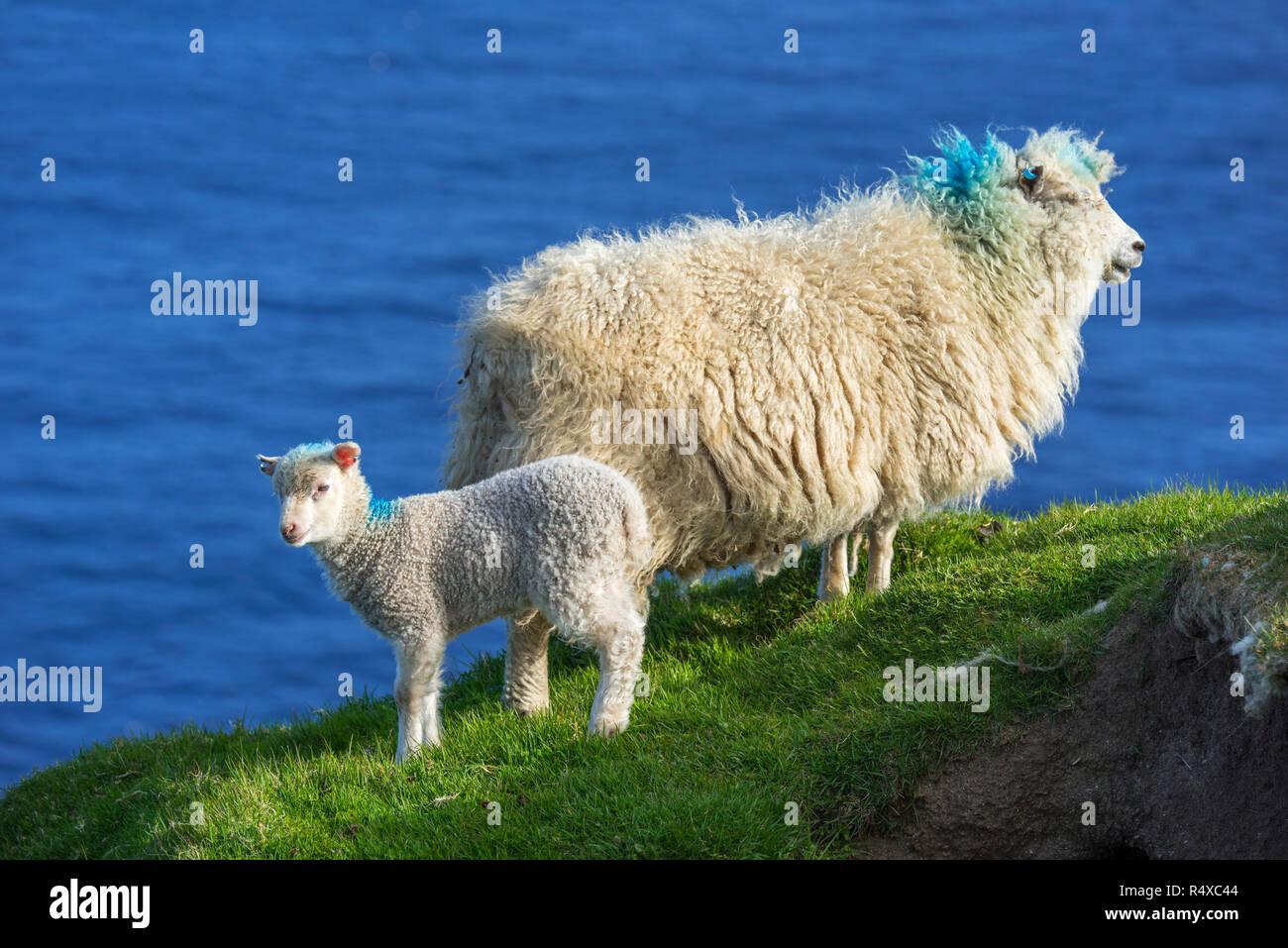 White sheep ewe and lamb on sea cliff top along the Scottish coast in Scotland, UK - Stock Image