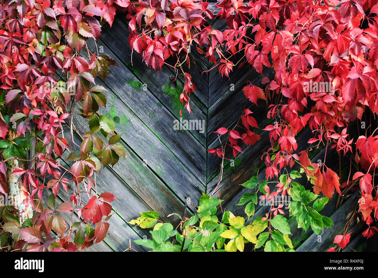 A plant of loach in the fall on a wooden fence. - Stock Image