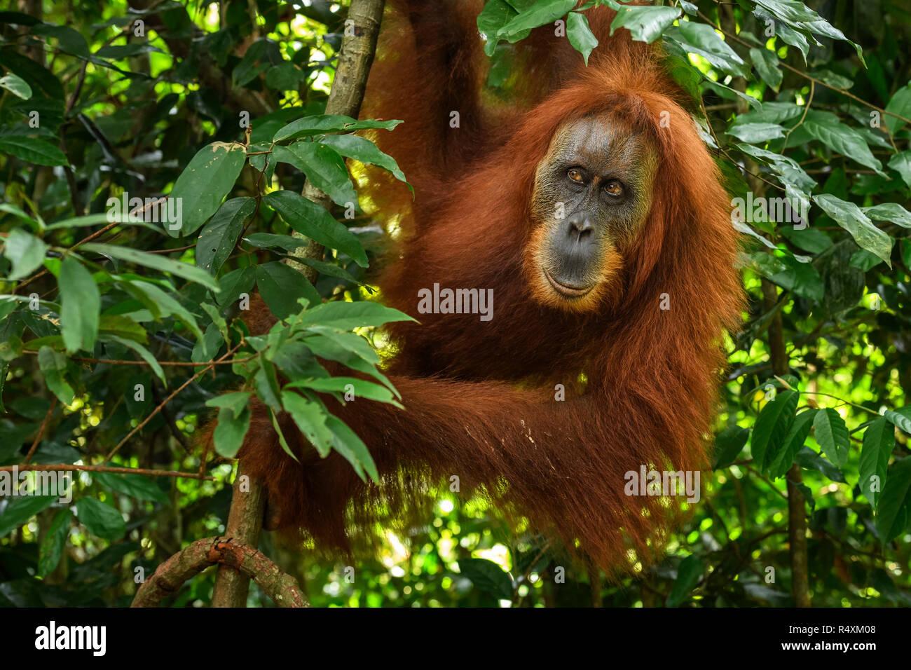 Sumatran Orang-utan - Pongo abelii, hominid primate from Sumatran forests, Indonesia. Stock Photo
