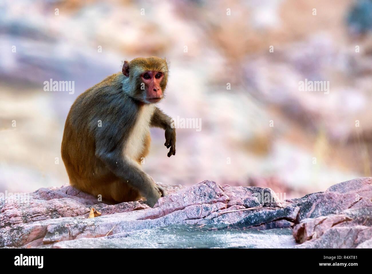 Sri-Lankan toque macaque or Macaca sinica in nature - Stock Image