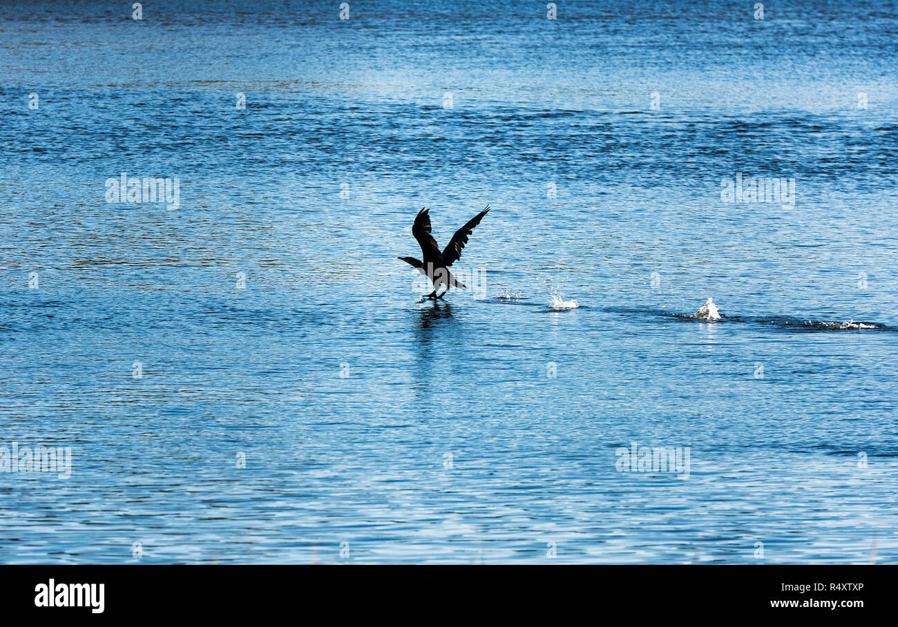 Cormorant skimming water in search of food. - Stock Image