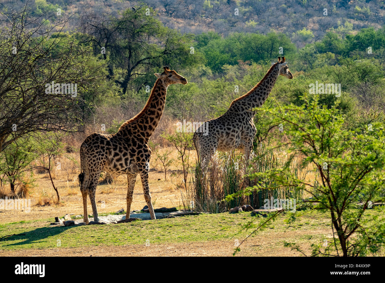 African animals - Stock Image