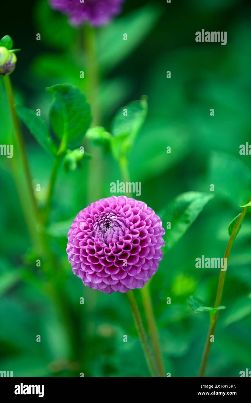 Dahlia Downham Royal,ball dahlia,magenta,flower,flowers,flowering,RM Floral - Stock Image
