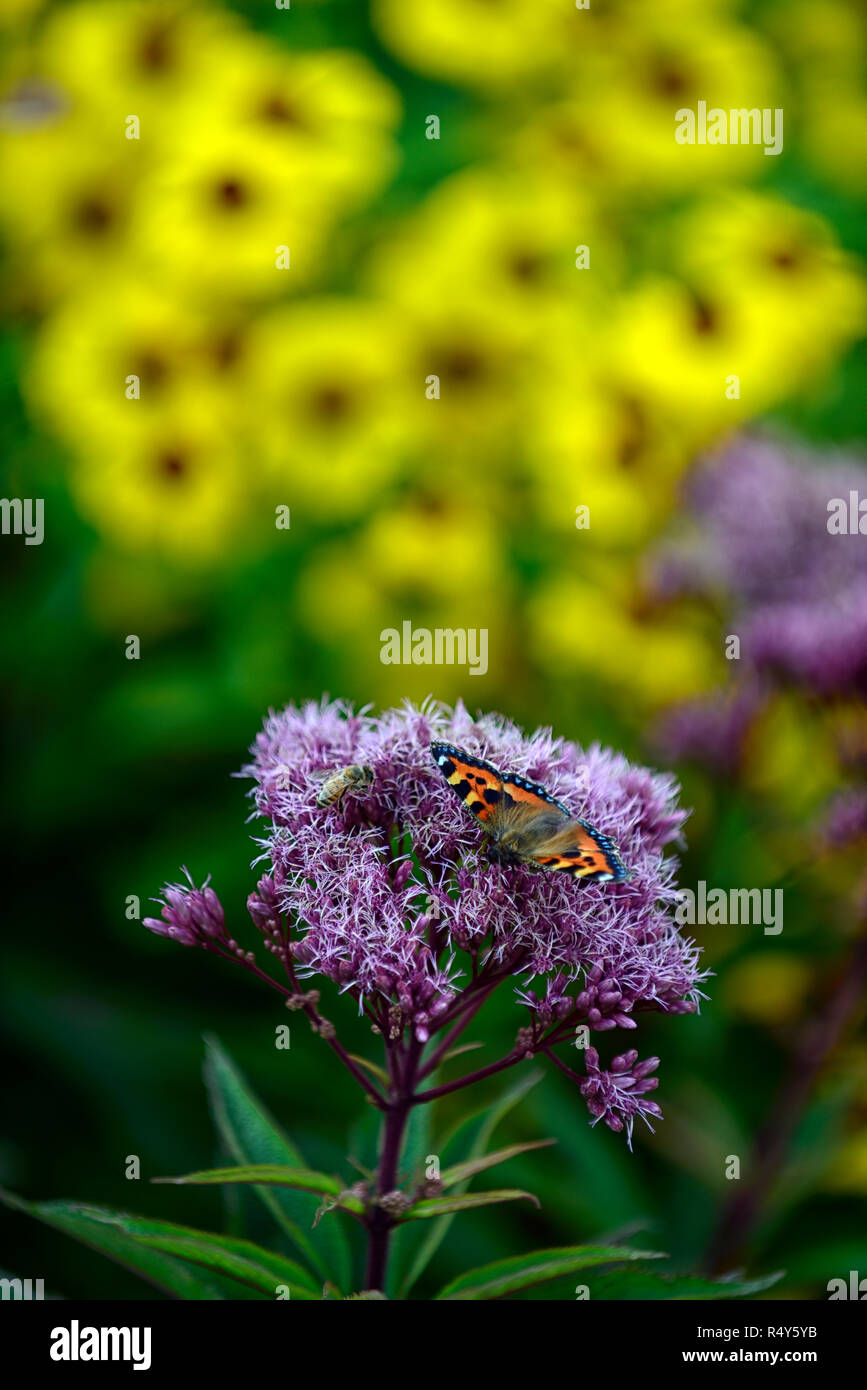 Eupatorium maculatum Atropurpureum Group,joe pye weed,mauve-pink flowers,purple stems,flowers,flowering,insect friendly, garden,gardening,RM Floral - Stock Image