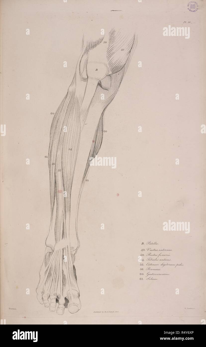 An Anatomical Drawing Of A Leg Showing The Bones And Muscles