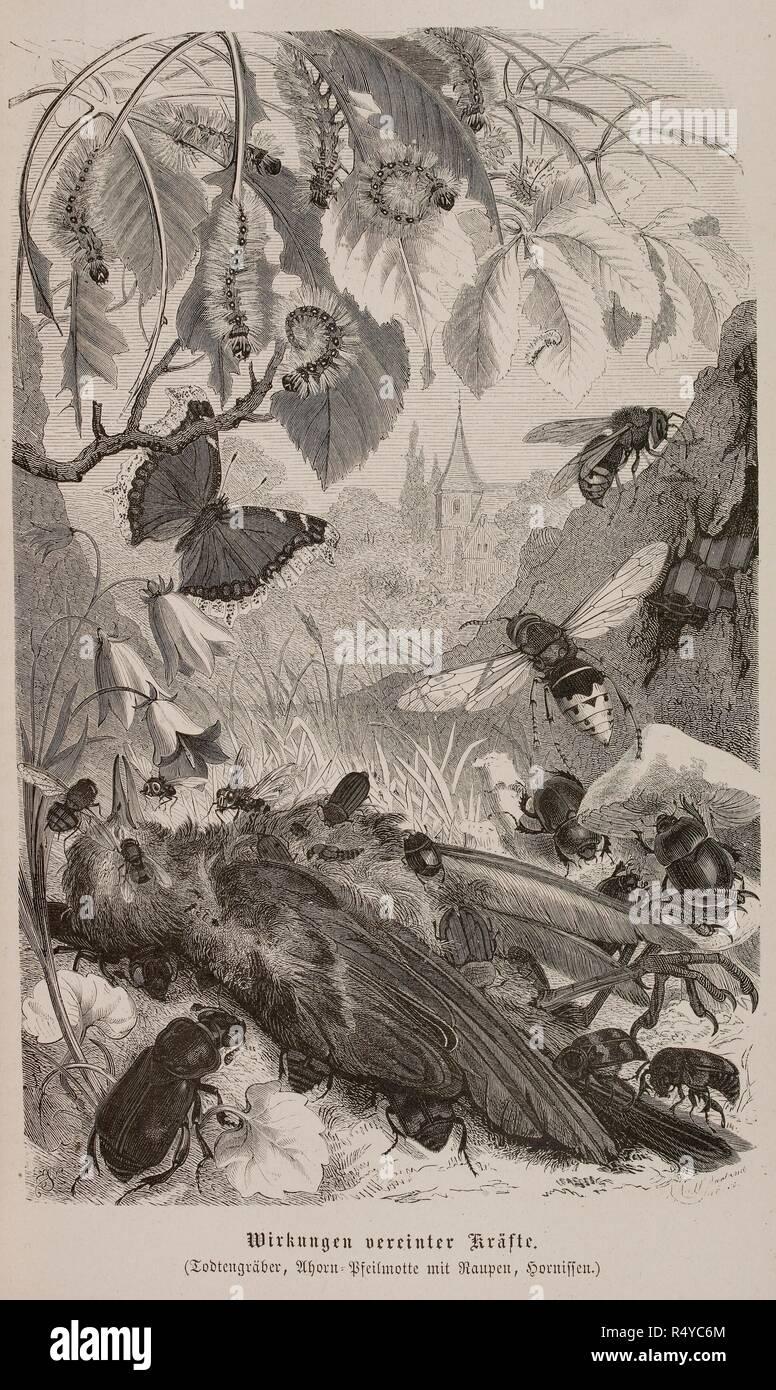 Illustration of plants and insects. Illustrirtes Thierleben. Eine allgemeine Kunde des Thierreichs, etc. Hildburghausen. Illustrirtes Thierleben. Eine allgemeine Kunde des Thierreichs, etc. (Bd. 6. Von E. L. Taschenberg und Oskar Schmidt.) [With plates by R. Kretschmer, E. Schmidt, and others.] 1864-69. Source: 7208.ddd.17 vol.6 58. Language: German. Stock Photo