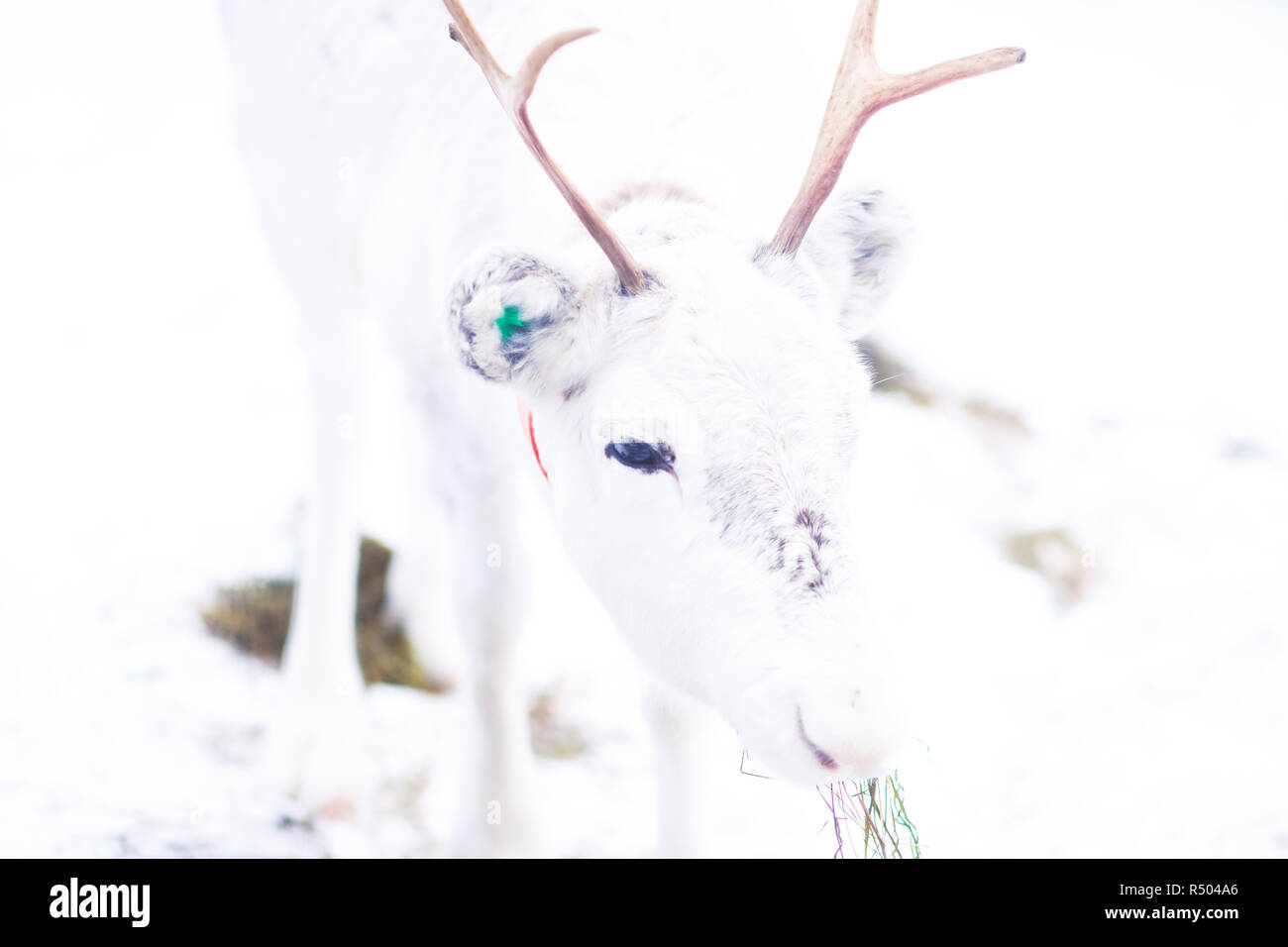 Group herd of caribou reindeers pasturing in snowy landscape, Northern Finland near Norway border, Lapland - Stock Image