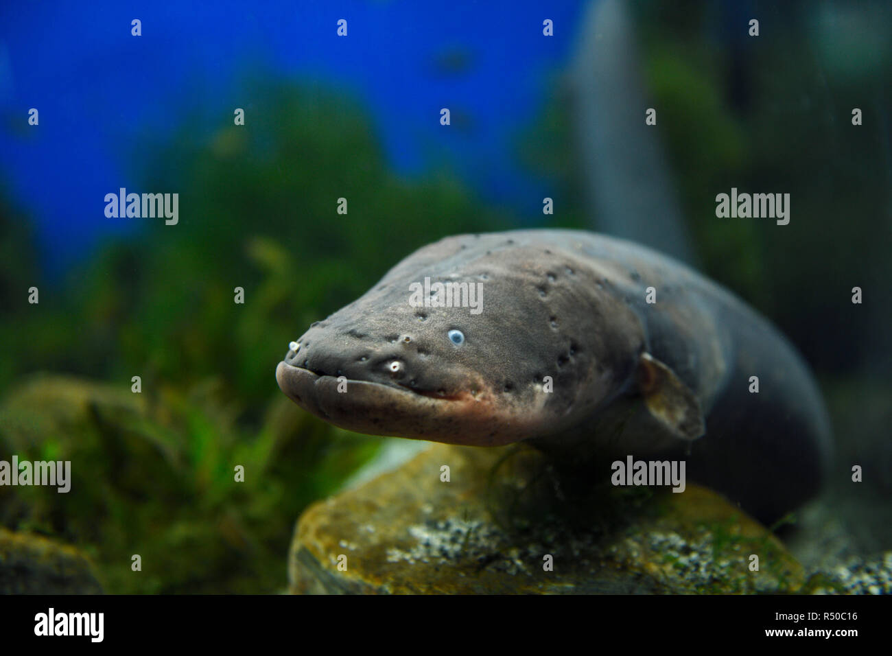 Face of an Electric Eel which is not an eel but an air breathing South American electric fish or knifefish - Stock Image