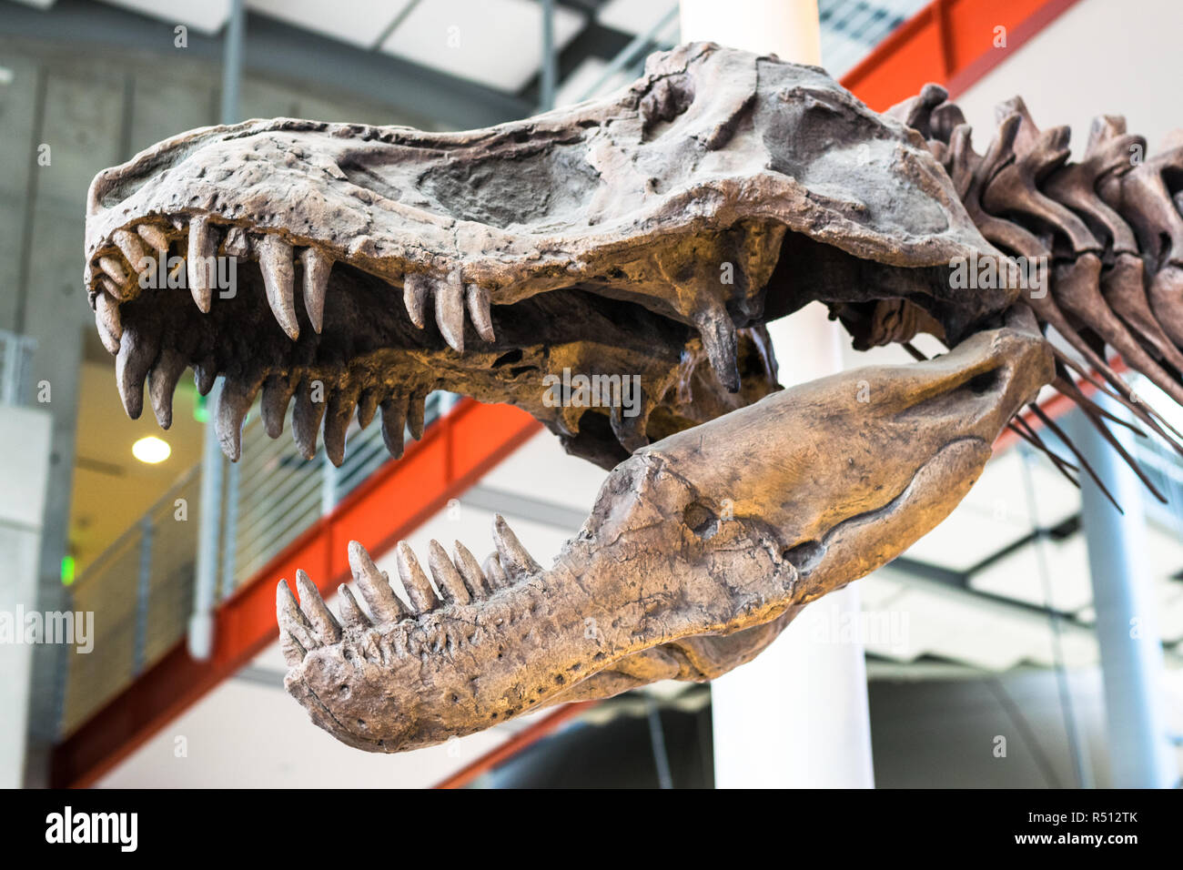 Tyrannosaurus Rex Dinosaur Fossil. A fossil dinosaur skull of the tyrannosaurus rex against an unfocused background, event of extinction. - Stock Image