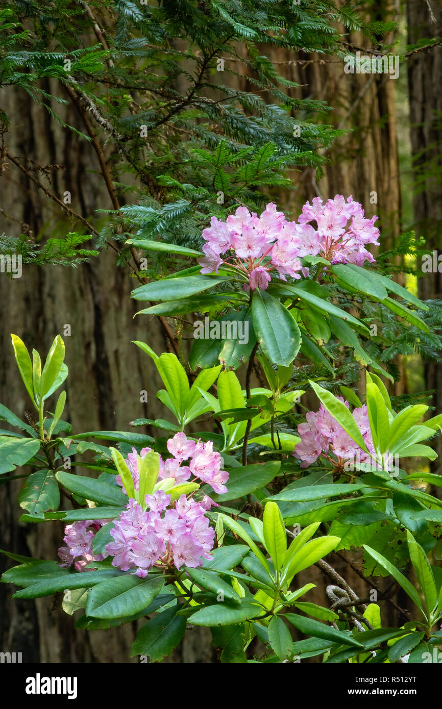 Rhododendron Blooming In The Henry Solon Graves Grove Of Redwoods On Damnation Creek Trail In Del Norte Redwoods State Park Calfornia Stock Photo Alamy Through standard matchmaking, players are not given the ability to choose their champion ( all random) and fight on the howling abyss' single lane. alamy