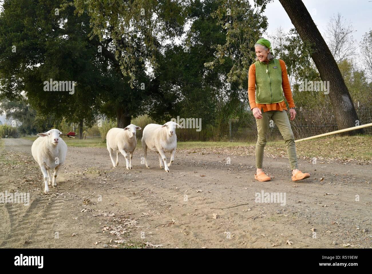 Female farmer walking with three sheep, Mimi is co-owner of organic Front Porch Farm, Healdsburg, California, USA. Stock Photo