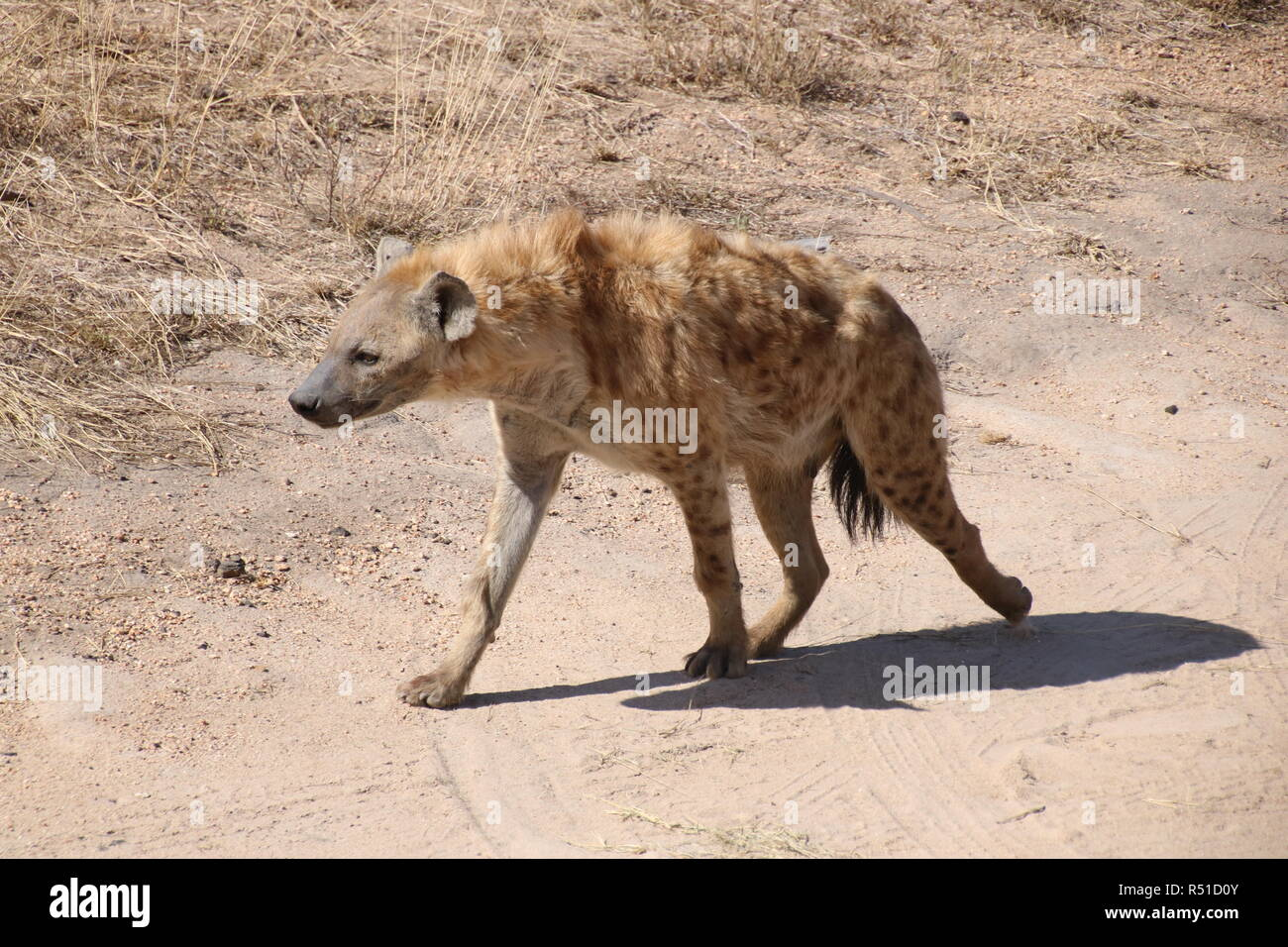 lone hyena walking in national park Tanzania - Stock Image