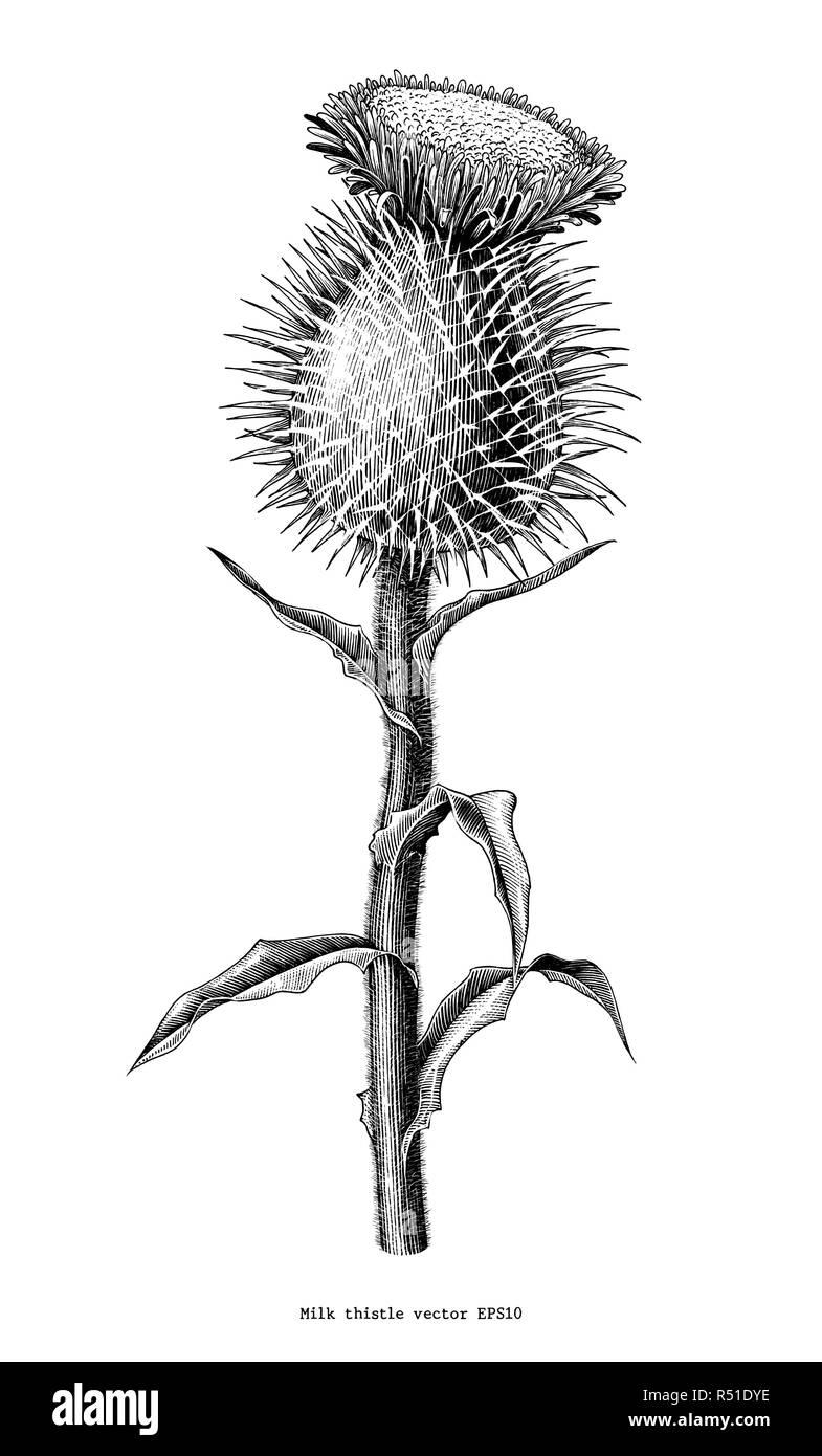 Milk thistle plant botanical hand draw vintage clip art isolated on white background - Stock Image