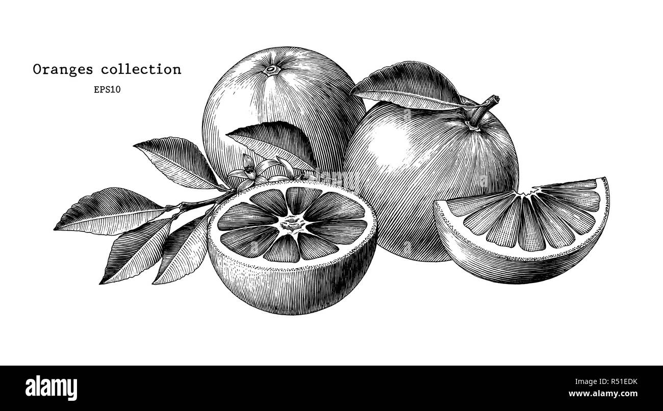 Oranges collection hand draw vintage clip art isolated on white background - Stock Image