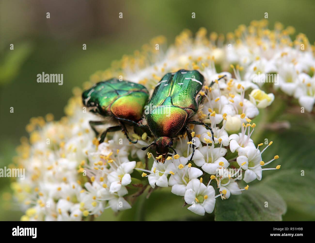 two rose beetles cetonia aurata eat pollen Stock Photo