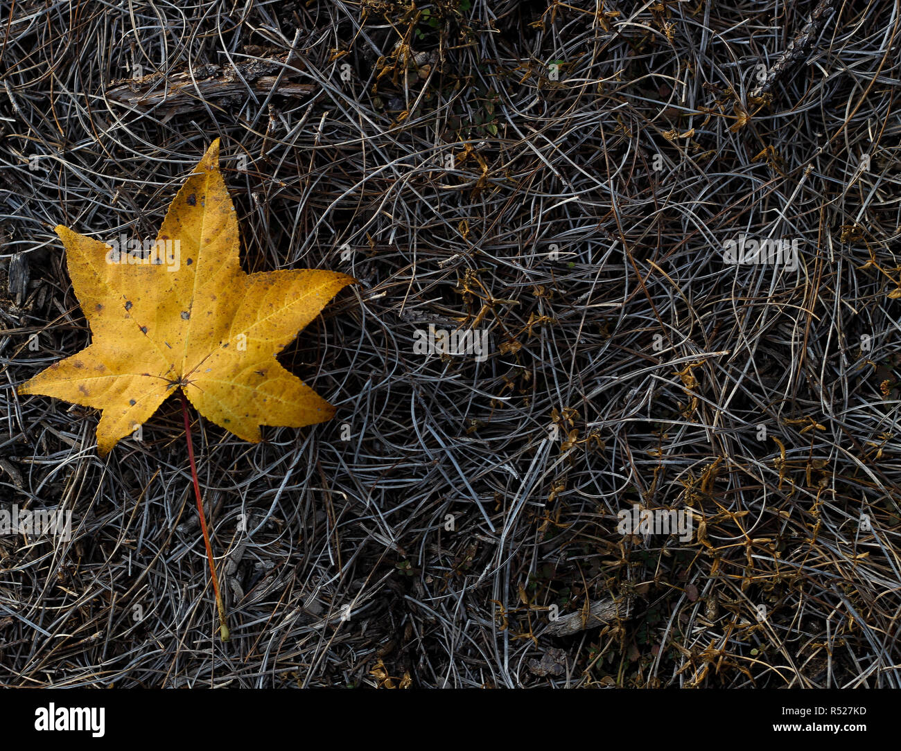 Fall orange dry leaf. Background photo. Cold day at Conroe, Texas. Green grass in the background. Stock Photo